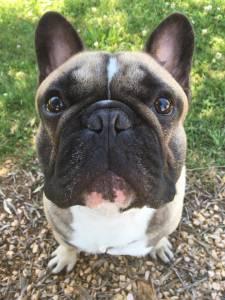Bulldog Francês Creme