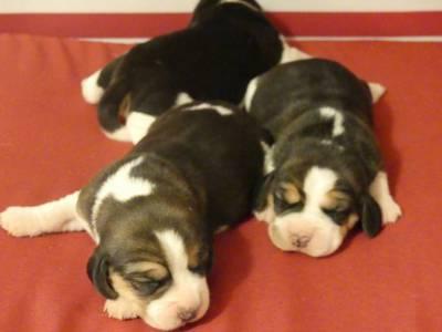 Cachorros Beagle com LOP Descendentes de Campeoes