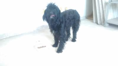 Poodle fêmea encontrada em Suzano