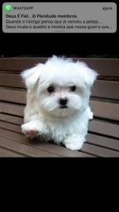 Yorkshire Shihtzu poodle maltes beagle