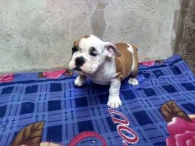 Bulldog inglês macho