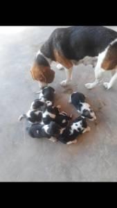 Beagle menores