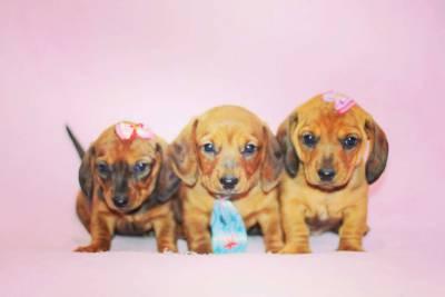 Os mais Lindos Filhotes de Basset Miniatura
