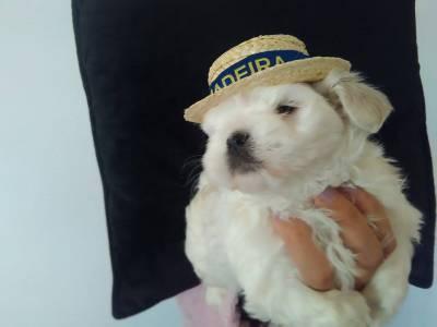 cachorrinhos bichom maltês