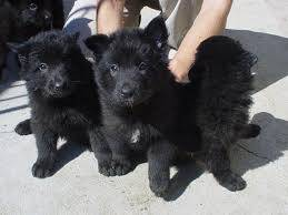 Lindos filhotes de Pastor alemao capa preta