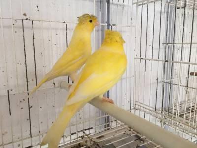 Canarios de cor reino ou belga