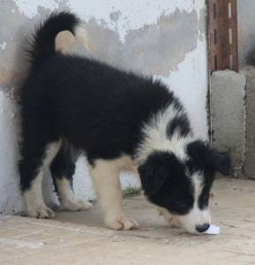 Cachorros Border Collie