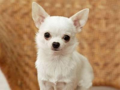 Filhotes de Chihuahua RJ