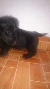 Scottish Terrier Filhotes de Ótima Procedência