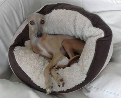Cruzamento de meu cão Whippet com uma fêmea