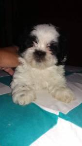 Shihtzu york Maltes Spitz Alemao poodle divide em dose vezes no cartao