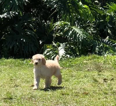 Poodle gigante