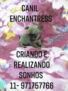 Chihuahua filhotes disponíveis Canil Enchantress
