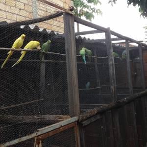 Calopsitas em Goiânia