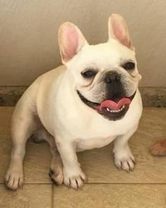 Bulldog francês para cobertura
