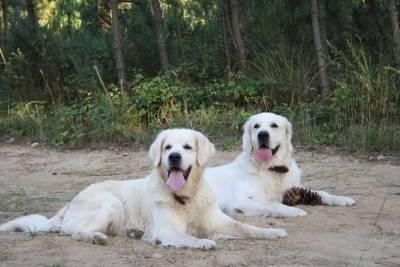 Cão Golden Retriever com LOP procura namorada