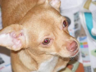 Chihuahua para adopção Responsavel