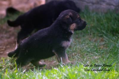 Cães de Pastor Alemão Vom Leonhard Land