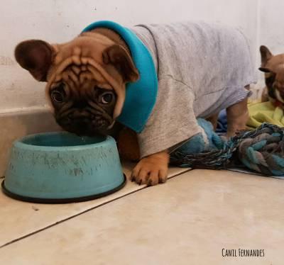 Bebêzinho de Bulldog Francês
