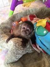 Macaco prego filhotinhos