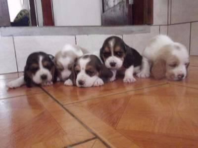Baaset hound