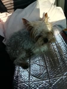 Procuro namorada fêmea Yorkshire Terrier miniatura