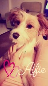 Cão Desapareceu na zona do Penedo - Colares - Sintra