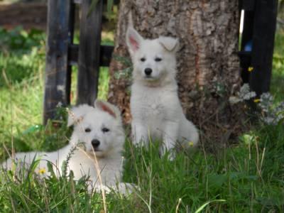 Excelentes cachorros de grande qualidade