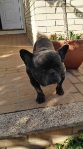 Bulldog francês adoção