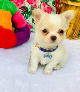 Chihuahua Macho Micro pelo longo