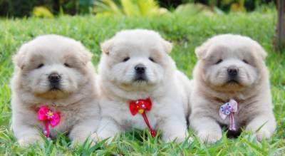 Chow Chow os mais adoráveis filhotes