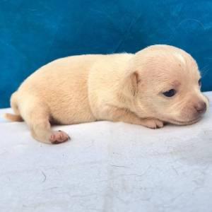 Chihuahua lindos filhotes com porte bem pequeno