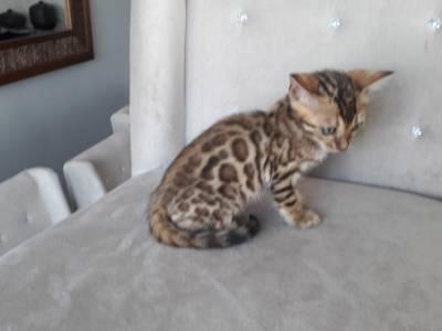 Gato Bengal Filhotes