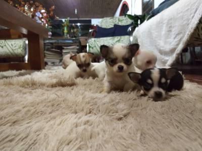 Chihuahua pelo curto e longo filhotes de porte muito pequeno