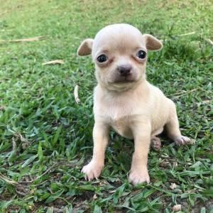 Chihuahua filhotes minúsculos disponíveis