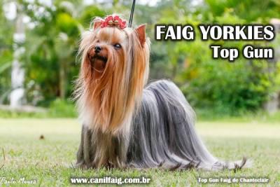 Yorkshire Terrier - Faig Yorkies