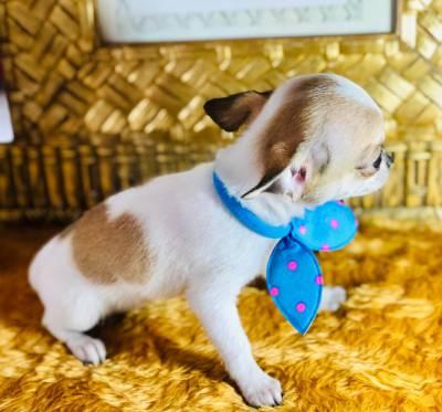 Chihuahua  pelo curto machinho