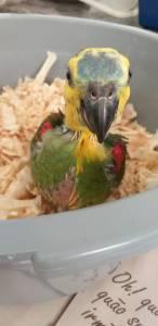 Lindos papagaios disponíveis