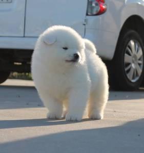Cachorros de Akita