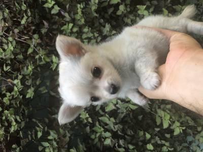 Lindos filhotes de Chihuahua super pequenos