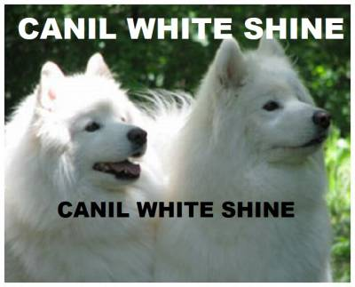 Samoieda Filhotes White Shine