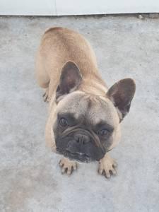 Bulldog Francês Adulto