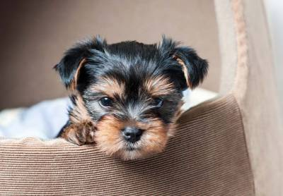dos yorkshire terrier
