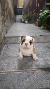 Bulldog inglês ótimo padrão
