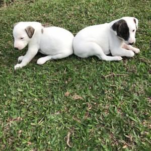 Whippet lindos filhotes disponíveis com pedigree