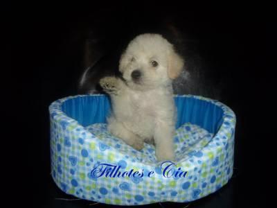 Poodle  Toy Último Filhote Machinho