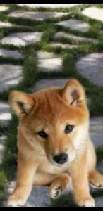 Shiba inu de alta qualidade filhotes de raça pura