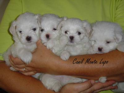 Lindos filhotinhos de Maltês Machos-Pedigree