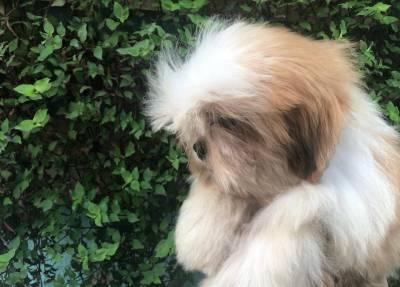Loucos por lhasa apso os mais lindos filhotes