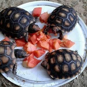 Tartaruga de terra - broquite - animal sem pêlo